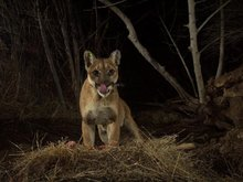 Wildlife bridge over 10-lane freeway could be the last chance to save California's mountain lions