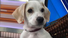 Pet of the Week: 3-month-old beagle mix named Winston