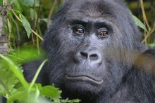 The world's largest primate is disappearing astonishingly, tragically fast