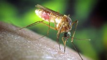 Zika Virus May Have Spread To Common Mosquito