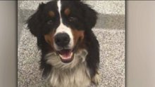 'Dog flipping' sometimes involves stolen pets used to make a quick buck