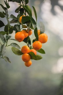 Calamondin | WGCU News