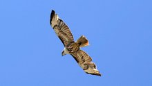 Connecticut Town Residents Alarmed Over Hawk Attacks