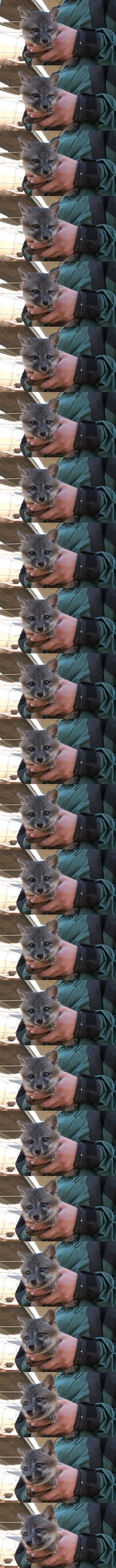An unprecedented conservation effort saved these cute foxes from disappearing forever