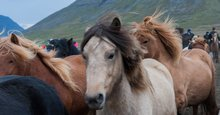 A journey to north Iceland, where wild horses run free