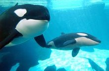 Orcas and trainers under OSHA scrutiny