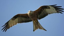 Red kites: from the brink of extinction to life in the burbs