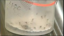Westchester County giving out minnows to help fight mosquitoes, prevent West Nile