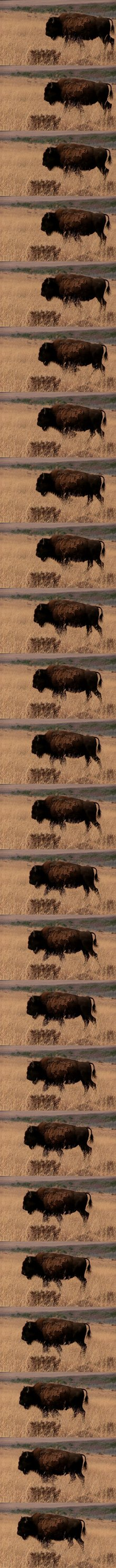 The American bison becomes the new national mammal