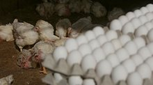 """Bruce Friedrich on why you shouldn't trust """"Certified Humane"""" eggs"""
