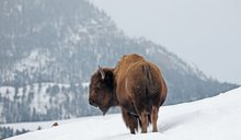Video: Woman seen petting bison on Yellowstone's opening weekend