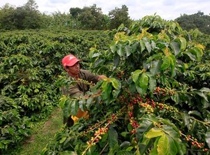 The Last Drop? Climate Change May Raise Coffee Prices, Lower Quality