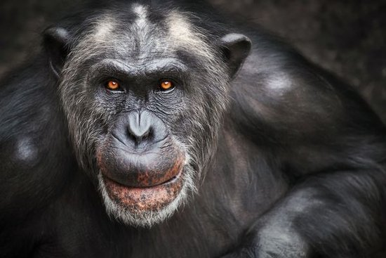 Apes Have Midlife Crises, Too--And It May Help Them