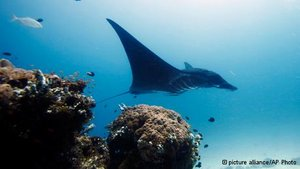 Manta rays drive global conservation efforts