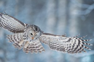 Ural Owls - Pictures, More From National Geographic Magazine
